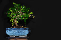 Bonsai tree. On a black background royalty free stock photo