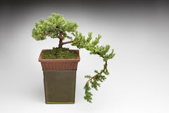 Bonsai Tree. In clay pot on a white background Royalty Free Stock Image