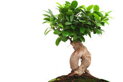Bonsai tree Stock Photo