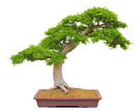 Bonsai Tree. Japanese bonsai tree isolated against a white background Stock Photography