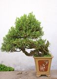 Bonsai tree. At the chinese garden Stock Photography