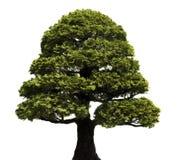 Bonsai Tree. Against a white background.  Hinoki False Cypress, style Formal Upright.  Chamaecyparis obtusa Royalty Free Stock Photography