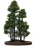 Bonsai Tree. Against a white background.  Dwarf Alberta Spruce, style Grove Royalty Free Stock Photos