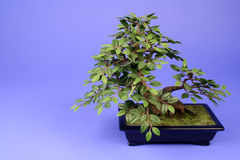 Bonsai Tree. In vase on a blue background Stock Photography