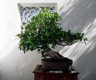 Bonsai Tree. In the Vancouver Canada Traditional Chinese garden Royalty Free Stock Photography