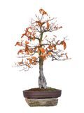 Bonsai tree beech red - Fagus silvatica Atropurpurea Stock Images