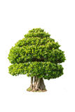 Bonsai tree. In big pot on white background Royalty Free Stock Photos