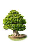 Bonsai tree. In big pot on white background isolated Stock Photos