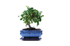Bonsai tree in a blue pot. Bonsai tree in a pot, isolated stock photography