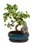 Bonsai tree in blue pot. Blooming bonsai tree in blue pot isolated on white Royalty Free Stock Photography