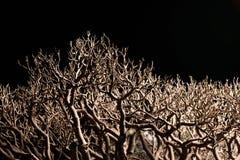 Bonsai tree branches  on black. Closeup view Stock Photography
