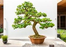 Bonsai tree, Carissa Macrocarpa, Natal Plum Royalty Free Stock Images