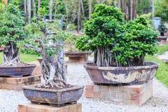 Bonsai tree on ceramic pot in bonsai garden. Small bonsai for interior exterior decoration Royalty Free Stock Photo