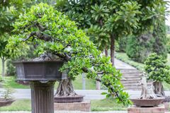 Bonsai tree on ceramic pot in bonsai garden. Small bonsai for interior exterior decoration Stock Photography