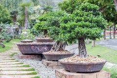 Bonsai tree on ceramic pot in bonsai garden. Small bonsai for interior exterior decoration Royalty Free Stock Photography