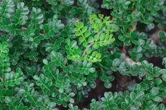 Bonsai tree Royalty Free Stock Photo