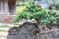 Bonsai tree on ceramic pot in bonsai garden. Small bonsai for interior exterior decoration Stock Image