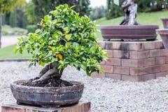 Bonsai tree on ceramic pot in bonsai garden. Small bonsai for interior exterior decoration Stock Photos