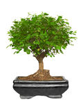 Bonsai tree in a ceramic pot Royalty Free Stock Images