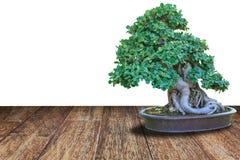 Bonsai tree in a ceramic pot on a wooden floor Stock Photos