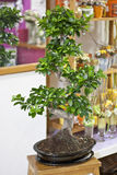 Bonsai tree. In ceramical pot. old chinese plant Royalty Free Stock Photo