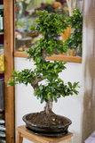 Bonsai tree. In ceramical pot. old chinese plant Stock Photography