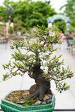 Bonsai tree in Chinese background Stock Photos