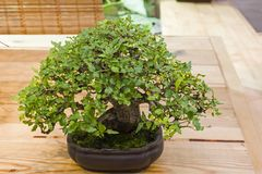 Bonsai tree - Chinese hackberry stock photos