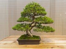 Bonsai tree - Chinese juniper. royalty free stock image