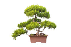 Bonsai tree of chinese juniper Stock Image