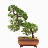Bonsai tree of chinese juniper Stock Image