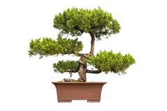 Bonsai tree of chinese juniper Stock Photo