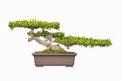 Bonsai tree of chinese littelleaf box Stock Images