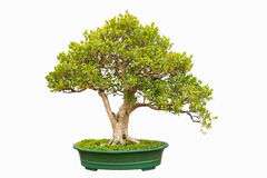 Bonsai tree of chinese littleleaf box Royalty Free Stock Images
