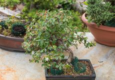 Cotoneaster bonsai tree with flowers. Bonsai tree cotoneaster evergreen flowering over marble table and natural daylight royalty free stock images