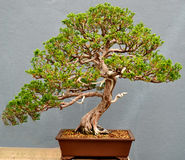 Bonsai Tree. A cultivated Bonsai tree on display Royalty Free Stock Photo