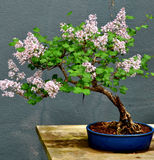 Bonsai Tree. A cultivated Bonsai tree on display Stock Image