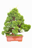 Bonsai tree of cypress Royalty Free Stock Image