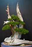 Bonsai Tree on Dark Background Royalty Free Stock Images