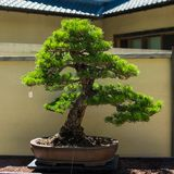 Bonsai Tree in Daylight. In a generic serene and peaceful garden. Japanese Asian art and architecture surround the plant stock photo