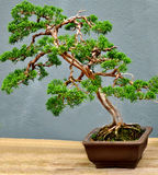 A Bonsai Tree Royalty Free Stock Images