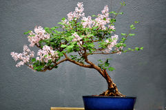 A Bonsai Tree. On display Royalty Free Stock Images