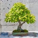 Bonsai tree on display. A bonsai miniature of an American Hornbeam tree on display at the  North Carolina Arboretum. Asheville,NC Royalty Free Stock Image
