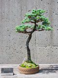 Bonsai tree on display Stock Photos