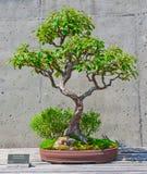 Bonsai tree on display Royalty Free Stock Photo