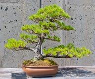 Bonsai tree on display Royalty Free Stock Image
