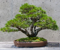 Bonsai tree on display Royalty Free Stock Photography