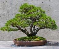Bonsai tree on display Royalty Free Stock Photography