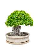 Bonsai tree elegant in vase Royalty Free Stock Photography