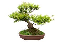 Bonsai tree of elm Royalty Free Stock Image